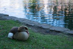 Curled up Egyptian goose sitting next to lake royalty free stock image
