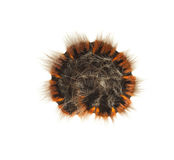 Curled up hairy caterpillar Royalty Free Stock Photography