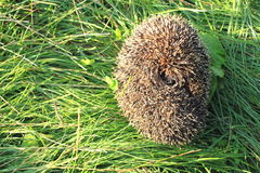 Curled up hedgehog in green grass Stock Image