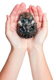 Curled up hedgehog Stock Photo