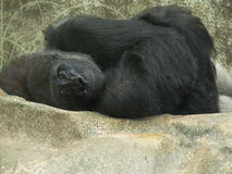 Curled-up lonely gorilla stock photography