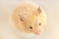 Curled up rodent Stock Photo