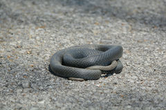 Curled up snake on road Royalty Free Stock Images