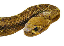 Curled viper. Curled snake graphic with white background stock images