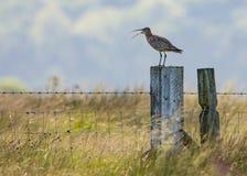 Curlew вызывая стоять на участках земли Йоркшира столба Стоковая Фотография RF