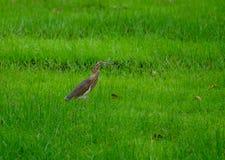 curlew Стоковое фото RF
