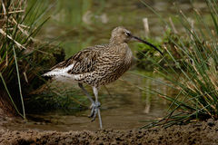 Curlew. A Curlew by water in Norfolk England Stock Images