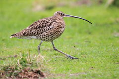 Curlew Royalty Free Stock Photography