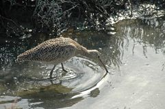 Curlew Stock Photo