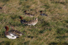 curlew Stockfoto