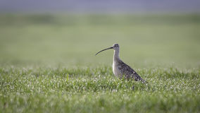 curlew Obrazy Royalty Free