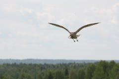 curlew Стоковые Фотографии RF