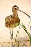 curlew Стоковая Фотография RF