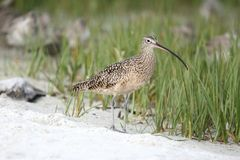 Curlew on beach Royalty Free Stock Image
