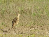 Curlew Royalty Free Stock Image