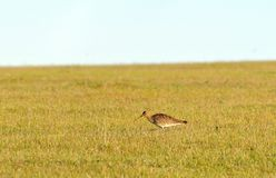 Curlew bird Royalty Free Stock Image
