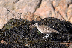 Curlew bird Stock Image