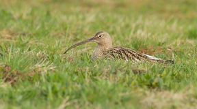 Curlew breeding Royalty Free Stock Images