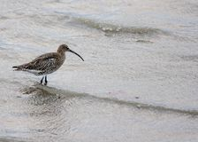 Curlew in Clontarf, Ireland Royalty Free Stock Photos
