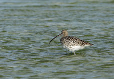 Curlew Royalty Free Stock Photo