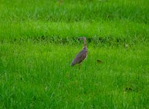 Curlew Royalty Free Stock Photos