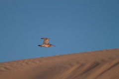 Curlew on Desert. A Curlew Flying Back to a Sand Dune Royalty Free Stock Photos