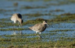 Curlew on Flooded Field royalty free stock photography