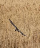 Curlew Flying Over Reeds stock photo