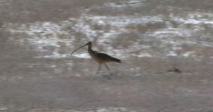 Curlew foraging in the dry grass