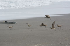 Curlew. Group of curlew on the seashore, on the beach of Cobquecura, Chile Stock Image