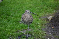 Curlew like bird standing on one leg Royalty Free Stock Photo