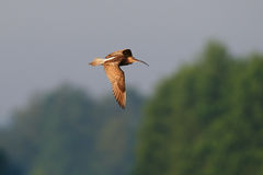 Curlew lot na niebie Obrazy Royalty Free