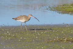 Curlew in marsh Royalty Free Stock Photography