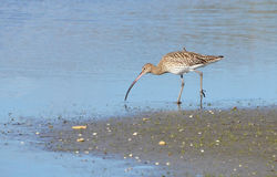 Curlew in marsh Stock Image