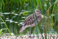 Curlew (Numenius arquata) Stock Photo