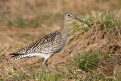 Curlew (numenius arquata) Stock Images