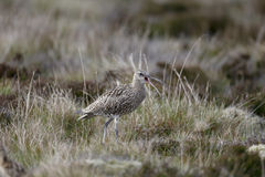 Curlew, Numenius arquata Obraz Stock
