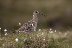 Curlew, Numenius arquata Royalty Free Stock Photo