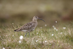 Curlew, Numenius arquata Stock Photos