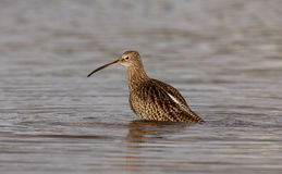 Curlew, Numenius arquata Royalty Free Stock Photography
