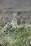 Curlew, Numenius arquata Stock Photo