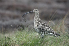 Curlew, Numenius arquata Stock Images