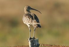 A Curlew Numenius arquata perched on a fence post. Royalty Free Stock Photo