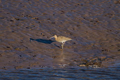 Curlew Stock Image