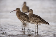 Curlew, Numenius arquata Stock Photography