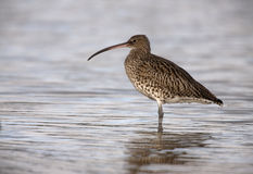 Curlew, Numenius arquata Royalty Free Stock Images