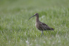 Curlew, Numenius arquata, Stock Photography