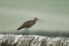 Curlew, Numenius arquata, Royalty Free Stock Photography