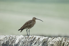 Curlew, Numenius arquata, Stock Photos