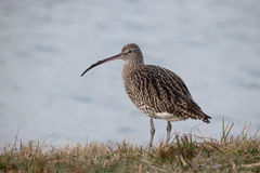Curlew, Numenius arquata Royalty Free Stock Image